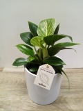 Philodendron birkin (White measure) HK 11 cm
