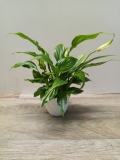 Spathiphyllum Pearl Cupido White HK 7 cm