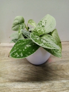 Scindapsus Pictus Silvery Ann HK 11 cm