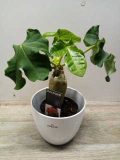 Jatropha Podagrica Orange HK 13 cm