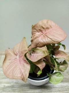 Syngonium Red Heart Feel Green HK 12 cm