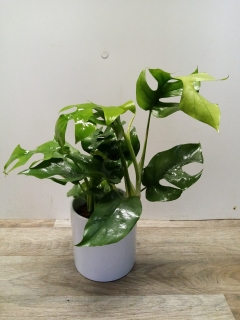 Philodendron monstera mini