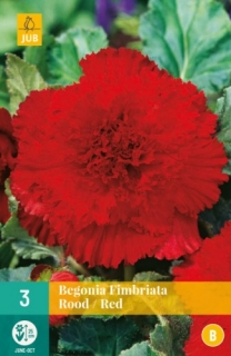 Begonia Fimbriata Red 3 kusy