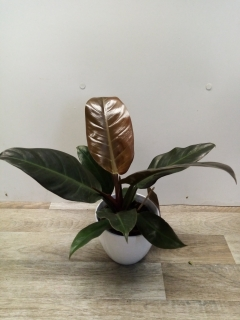Philodendron Imperial Red HK 14 cm