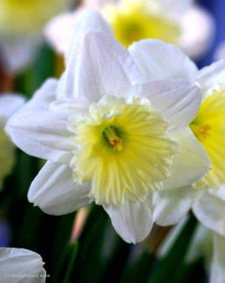 "Narcis ""Ice Follies"""